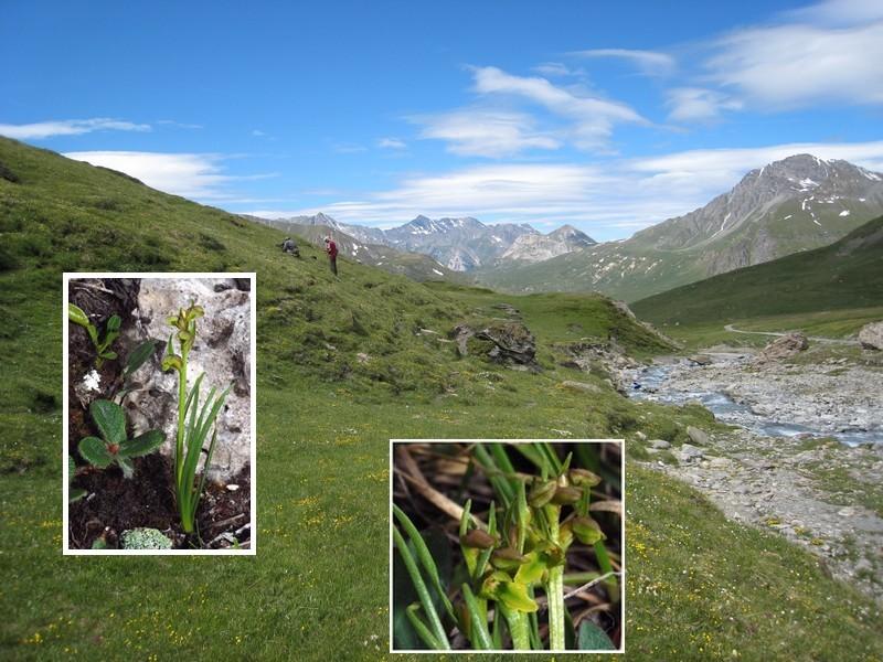 Chamorchis alpina  ( Orchis nain ) Fonds_12