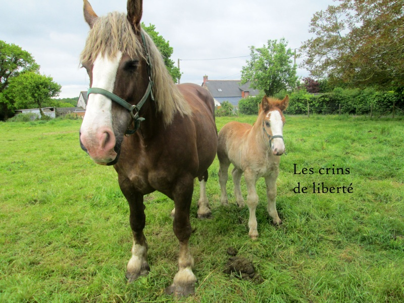 Dpt 35 - Doudou de la rablais - Trait Breton PP - Sauvé par Gaëlle ! (Août 2014) - Page 2 Img_0014