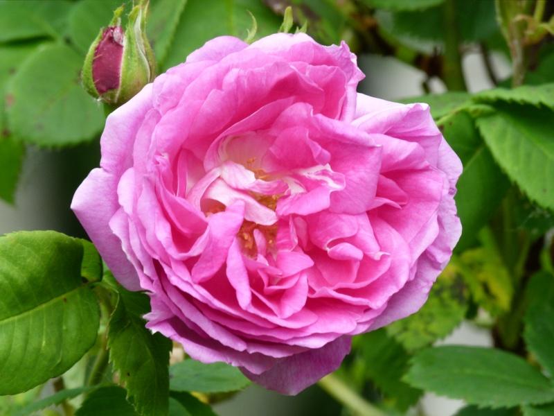 Les chemins de la rose Doué la Fontaine Bourbo10