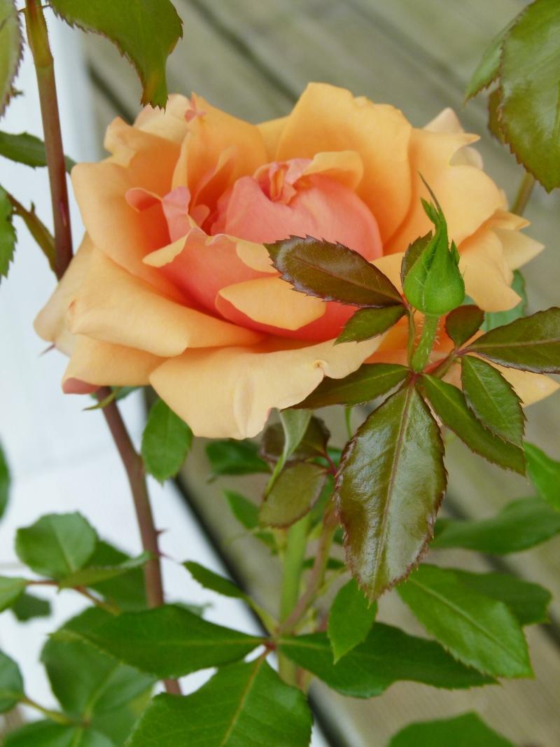 Les chemins de la rose Doué la Fontaine Florid11