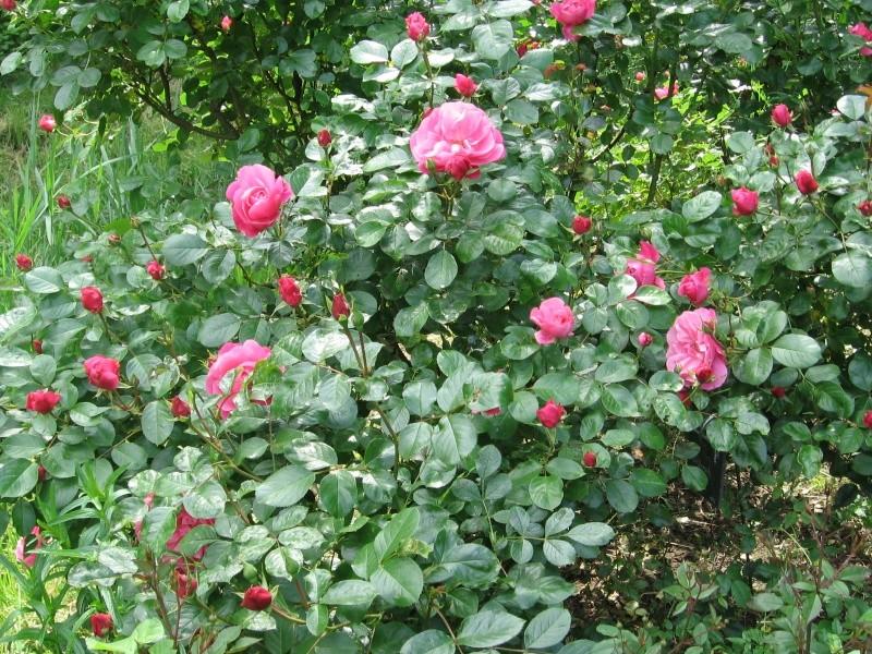 Les chemins de la rose Doué la Fontaine Img_0617