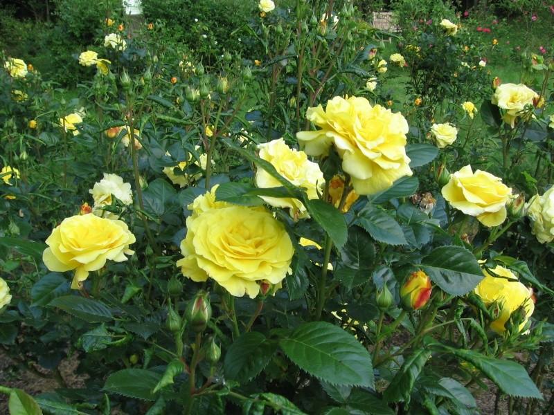 Les chemins de la rose Doué la Fontaine Img_0618