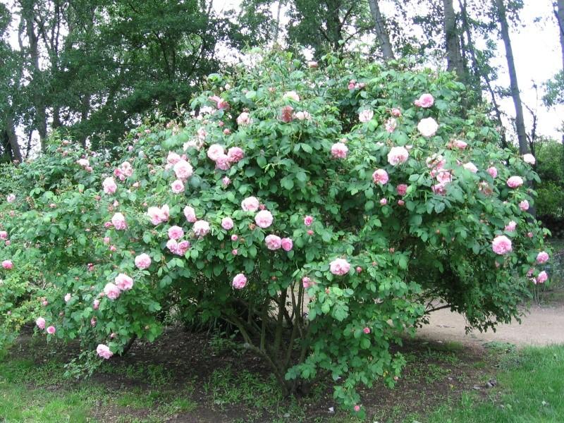 Les chemins de la rose Doué la Fontaine Img_0620