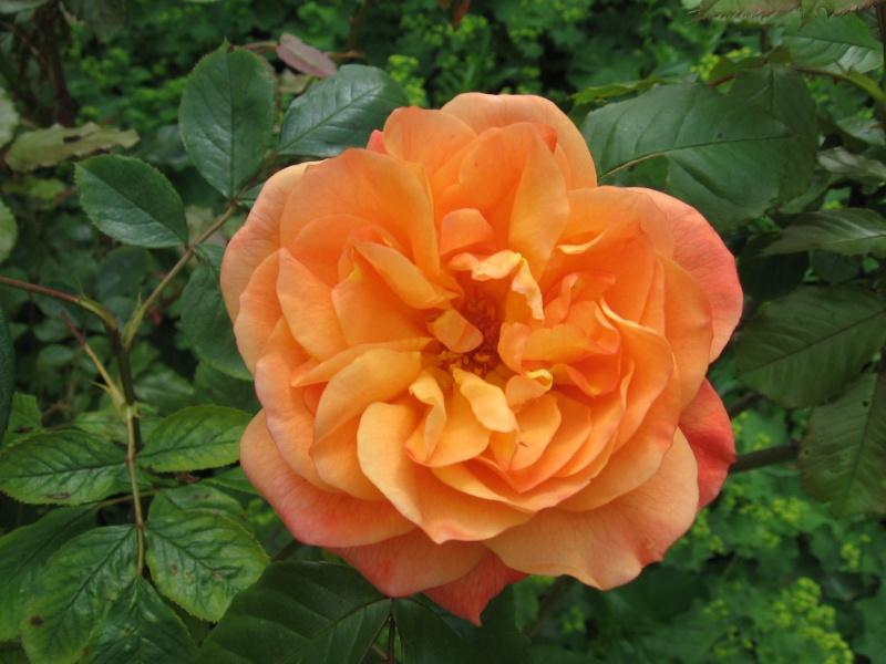 Les chemins de la rose Doué la Fontaine Img_0621