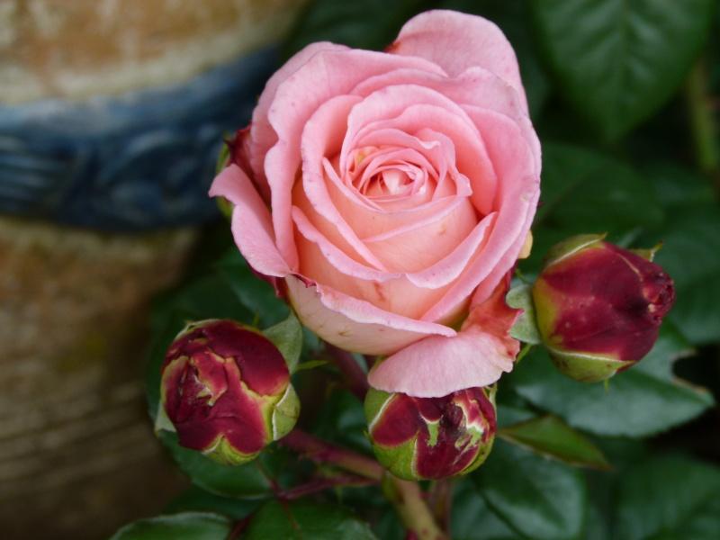 Les chemins de la rose Doué la Fontaine P1060810