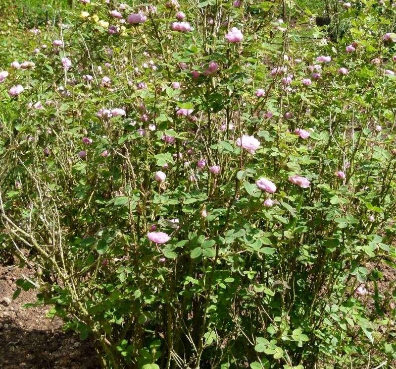 Les chemins de la rose Doué la Fontaine Pompon12