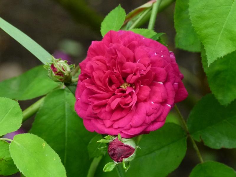 Les chemins de la rose Doué la Fontaine Vivid_10