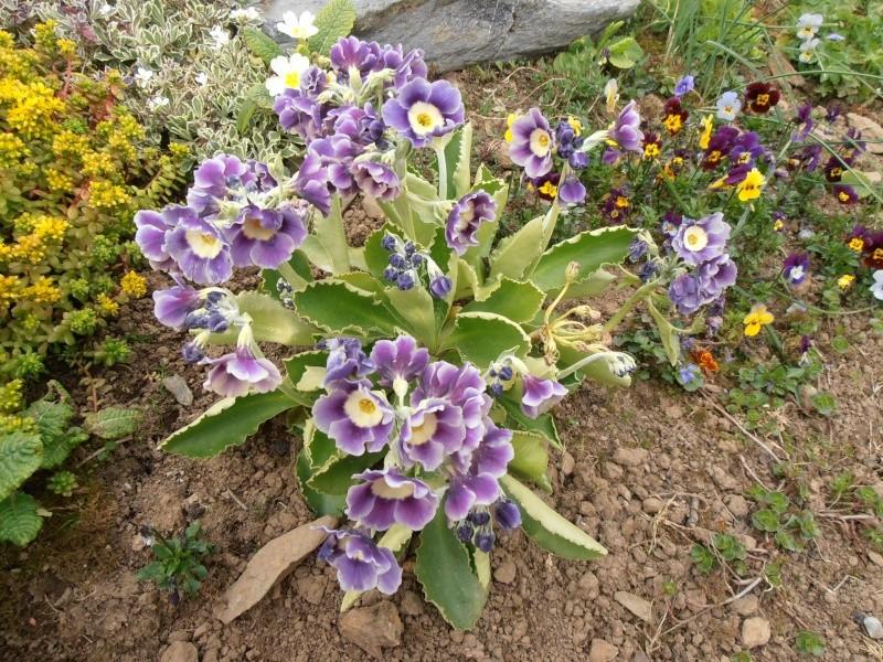 """Quelques """"alpines"""" dans mon jardin  P5010010"""