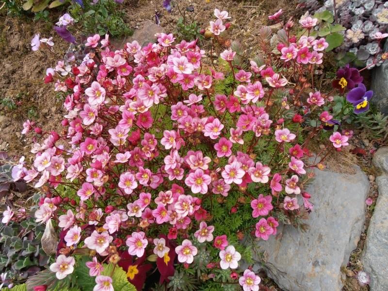 """Quelques """"alpines"""" dans mon jardin  P5010110"""