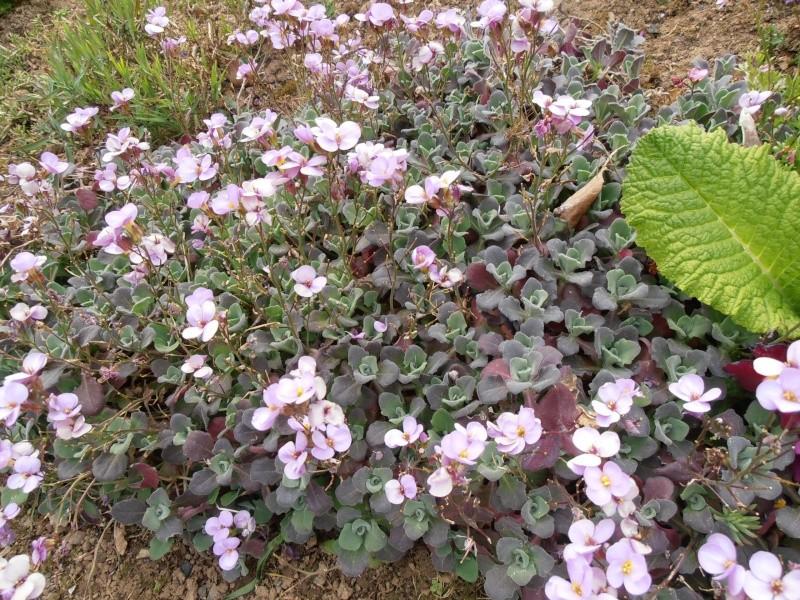 """Quelques """"alpines"""" dans mon jardin  P5010111"""