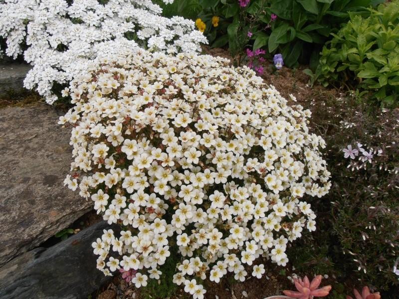 """Quelques """"alpines"""" dans mon jardin  P5010112"""