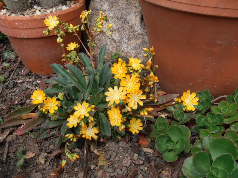 """Quelques """"alpines"""" dans mon jardin  P6070010"""