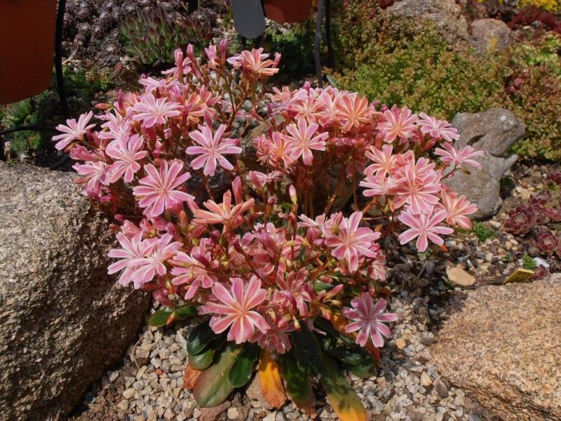 """Quelques """"alpines"""" dans mon jardin  P6070011"""