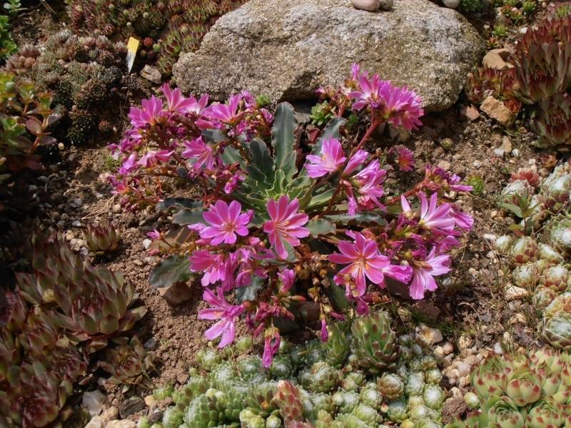 """Quelques """"alpines"""" dans mon jardin  P6070012"""