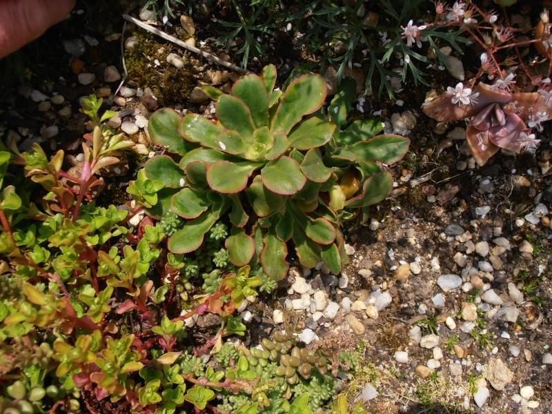 """Quelques """"alpines"""" dans mon jardin  P6070013"""