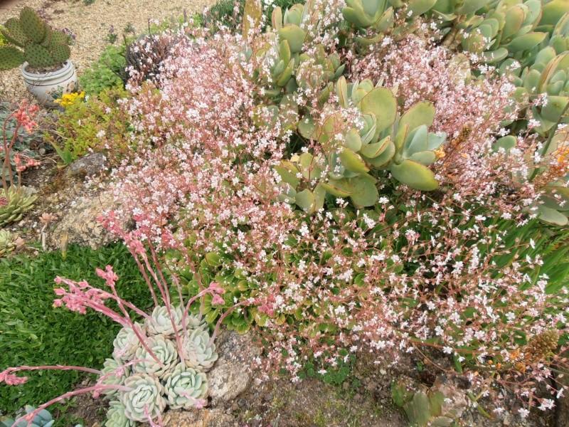 """Quelques """"alpines"""" dans mon jardin  P6080010"""