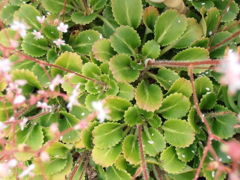"""Quelques """"alpines"""" dans mon jardin  P6080011"""