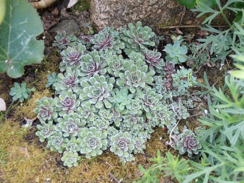 """Quelques """"alpines"""" dans mon jardin  P6080013"""