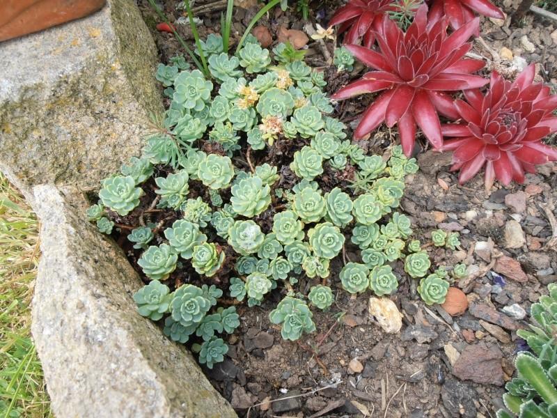 """Quelques """"alpines"""" dans mon jardin  P6080018"""