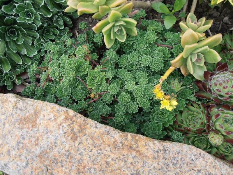"""Quelques """"alpines"""" dans mon jardin  P6080019"""