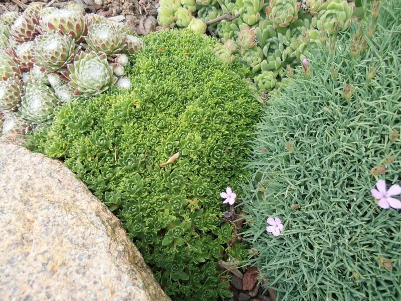 """Quelques """"alpines"""" dans mon jardin  P6080020"""
