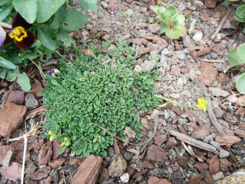 """Quelques """"alpines"""" dans mon jardin  P6080022"""