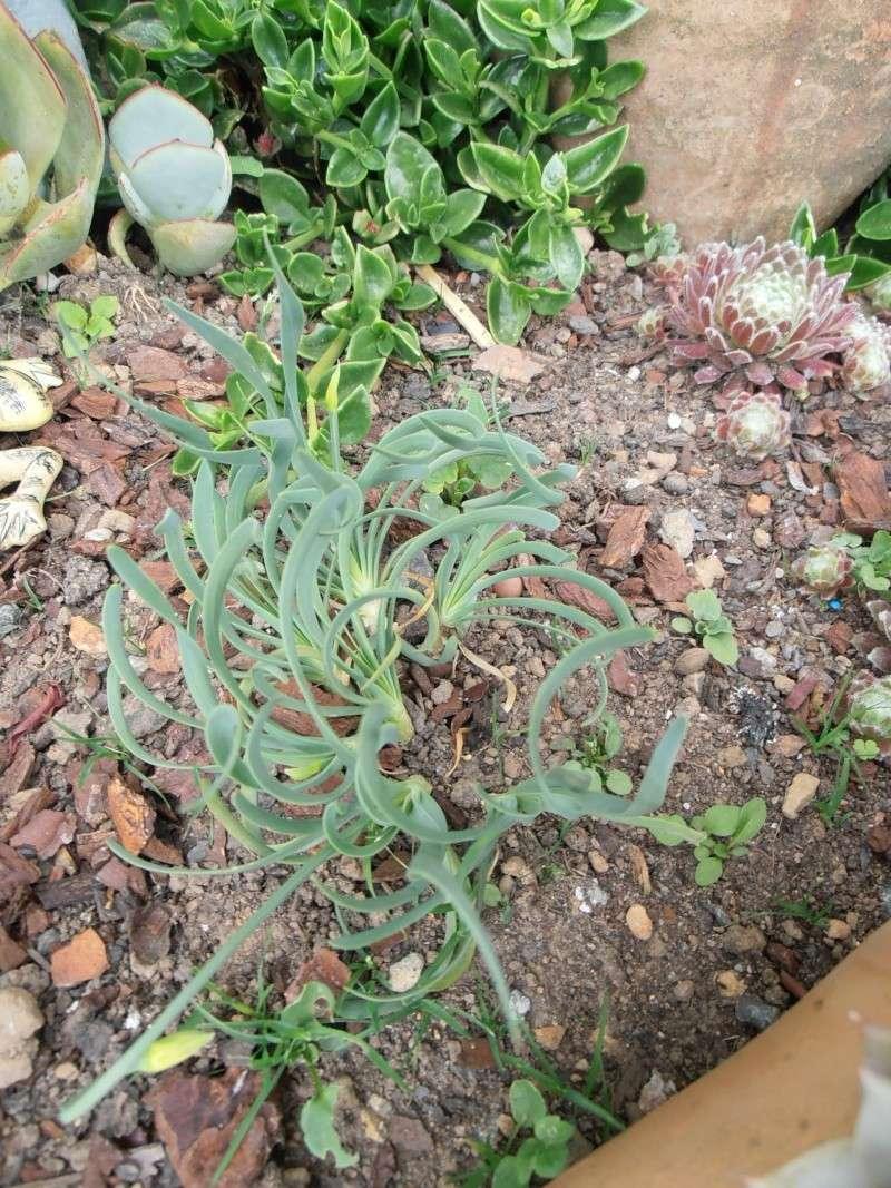 """Quelques """"alpines"""" dans mon jardin  P6080023"""