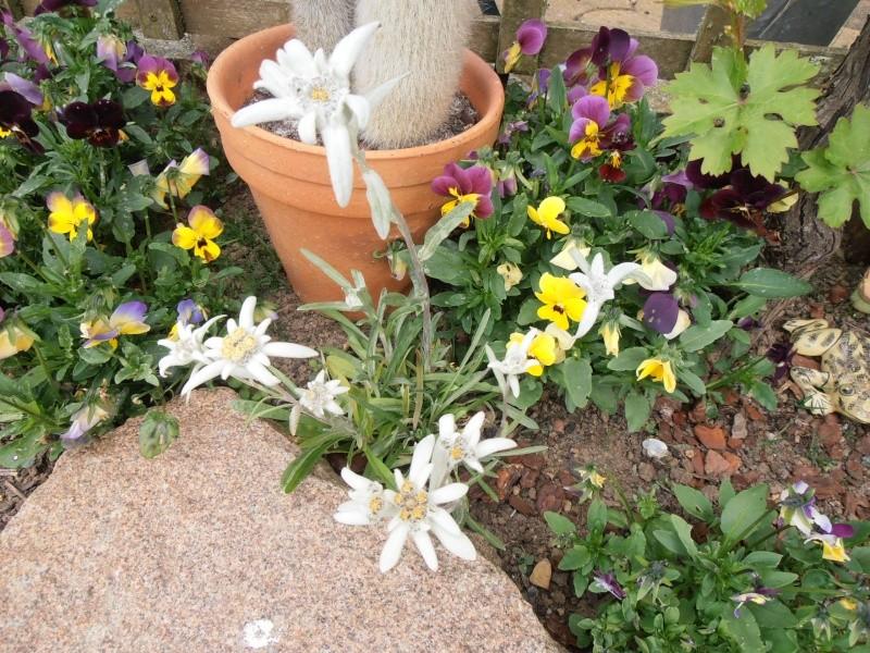 """Quelques """"alpines"""" dans mon jardin  P6080024"""