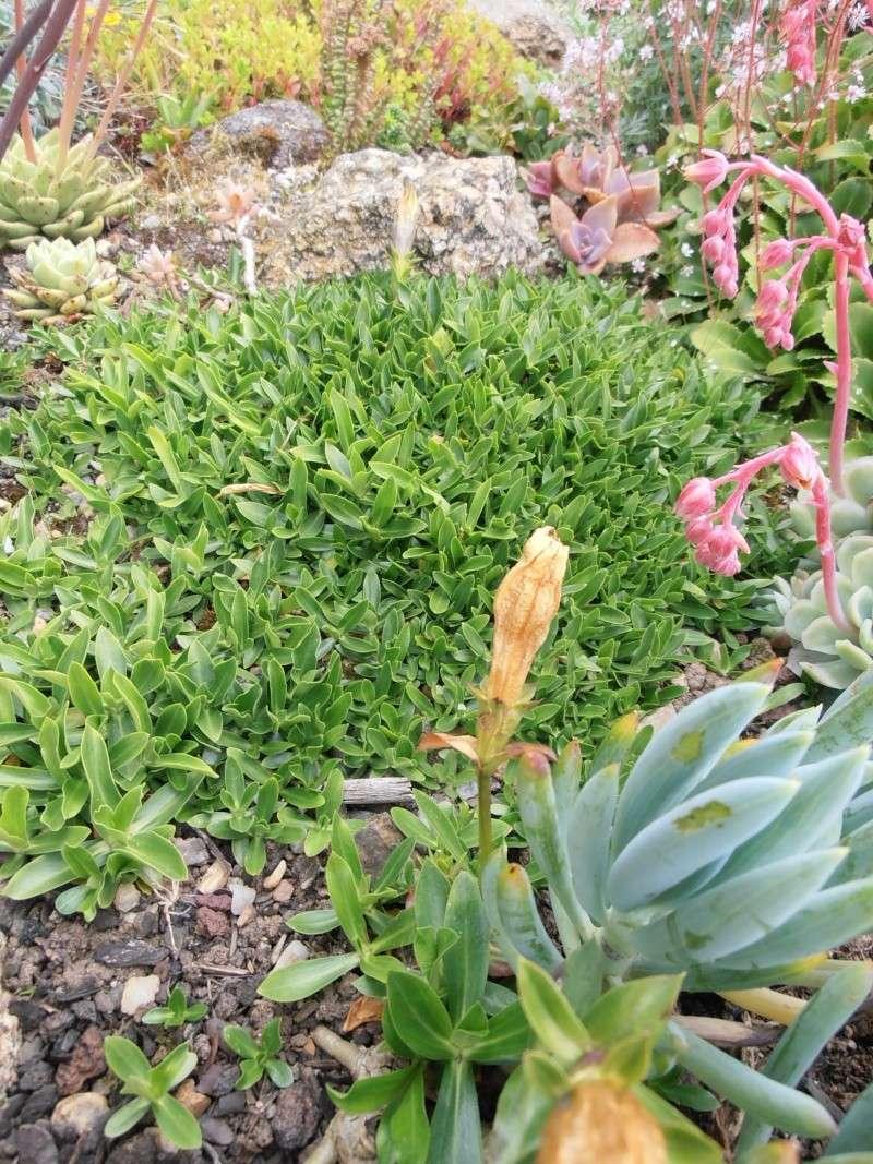 """Quelques """"alpines"""" dans mon jardin  P6080026"""