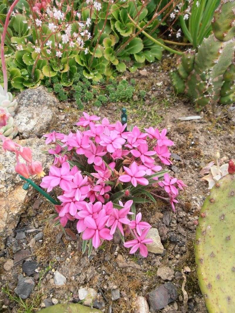 """Quelques """"alpines"""" dans mon jardin  P6080027"""