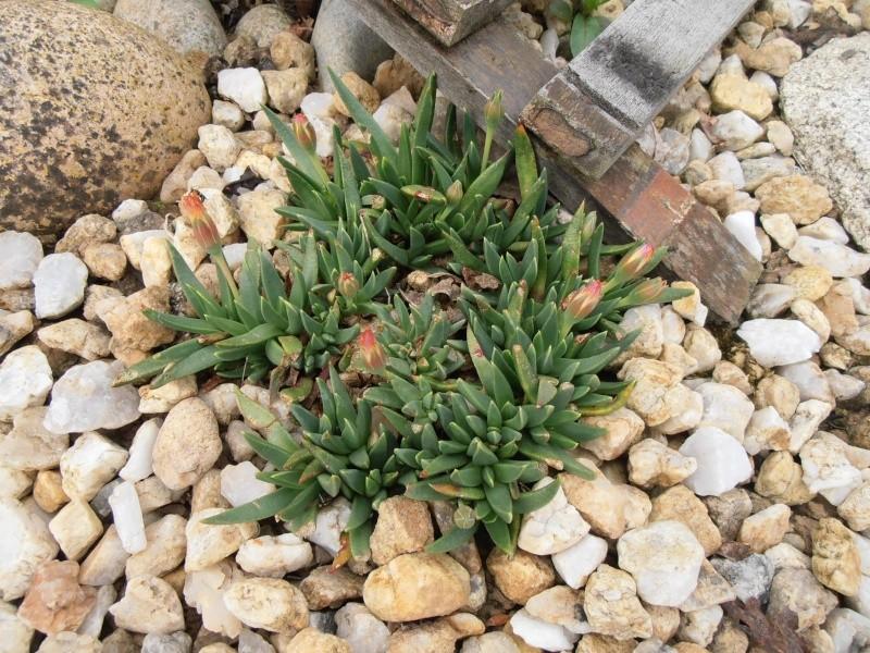 """Quelques """"alpines"""" dans mon jardin  P6080028"""