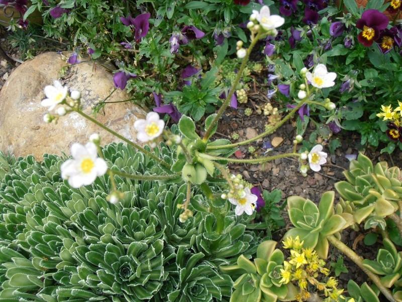 """Quelques """"alpines"""" dans mon jardin  P6090014"""