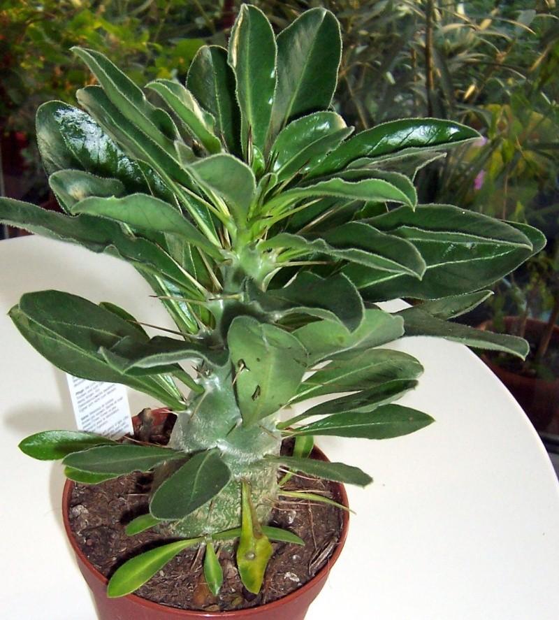 Pachypodium saundersii 100_6410