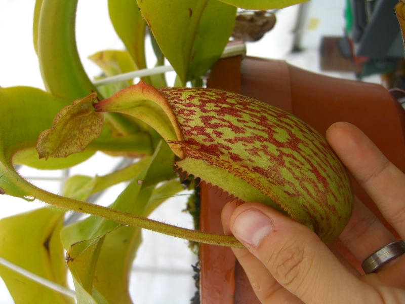Mes nepenthes Cimg7515