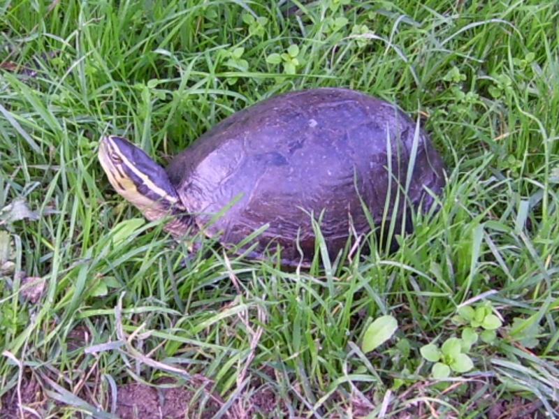 Quelque photos de tortues 100_0010