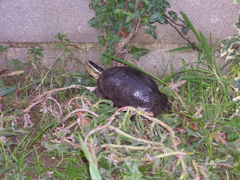 Quelque photos de tortues Cuora_10