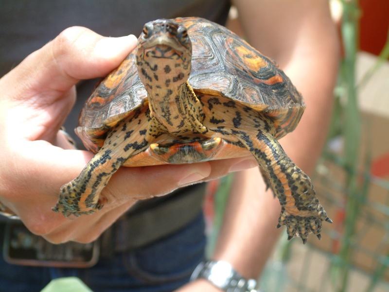 Quelque photos de tortues Rhinoc11