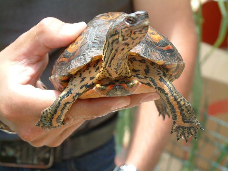 Quelque photos de tortues Rhinoc12