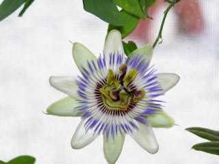 florile din apartament/gradina - Pagina 2 P2150510