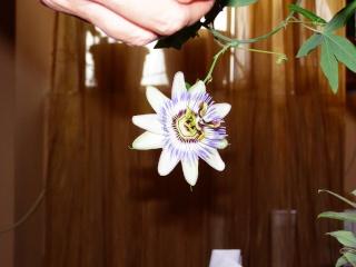 florile din apartament/gradina - Pagina 2 P2150511