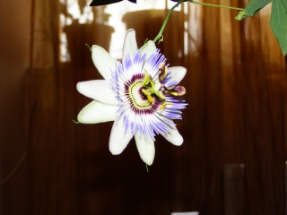 florile din apartament/gradina - Pagina 2 P2150512