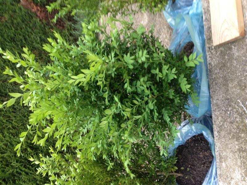 J'ai récupéré ces petits buissons, mais je n'arrive pas a les identifiers. Image_11