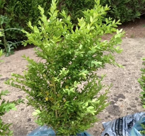 J'ai récupéré ces petits buissons, mais je n'arrive pas a les identifiers. Image_12