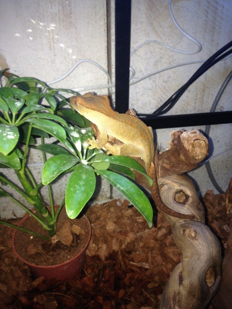 Memba,Correlophus ciliatus Image210
