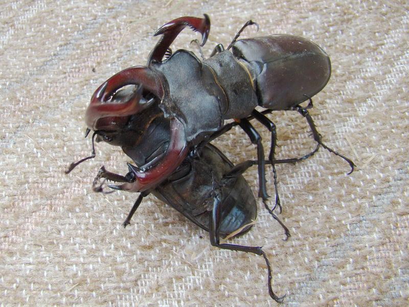 Tvrdokrilci ( Coleoptera ) - Page 2 Borbaj11