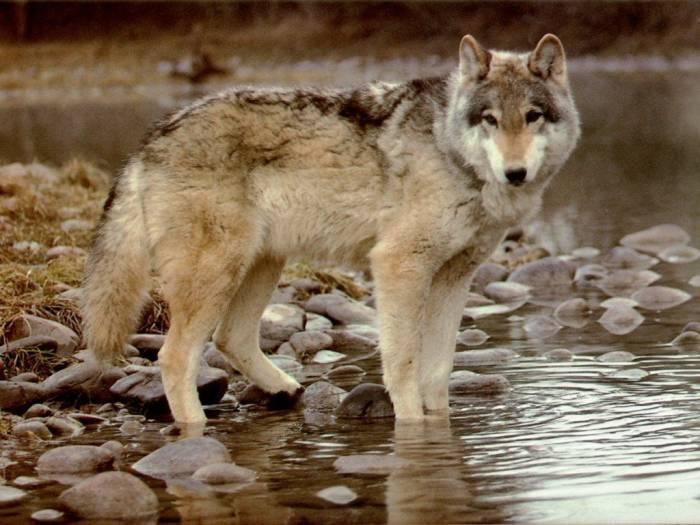 Les loups...... - Page 2 Les_lo10