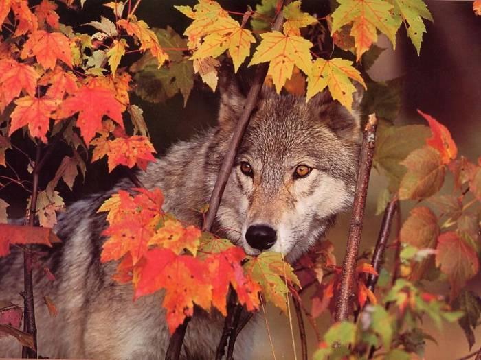 Les loups...... - Page 2 Les_lo12