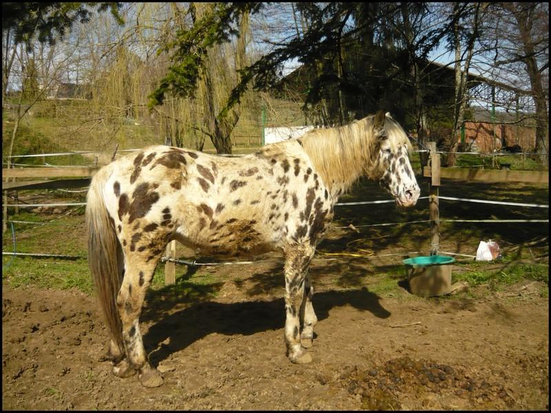 Apache, etalon appaloosa, nouvelles photos ! Apache12