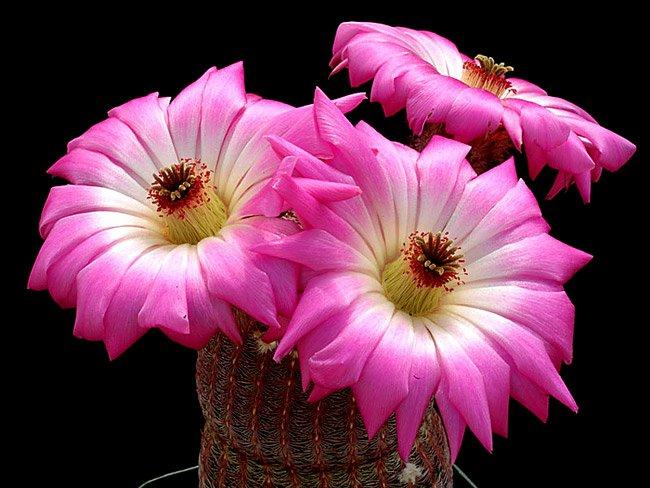 Floraisons de Cactus chez Boun  12410