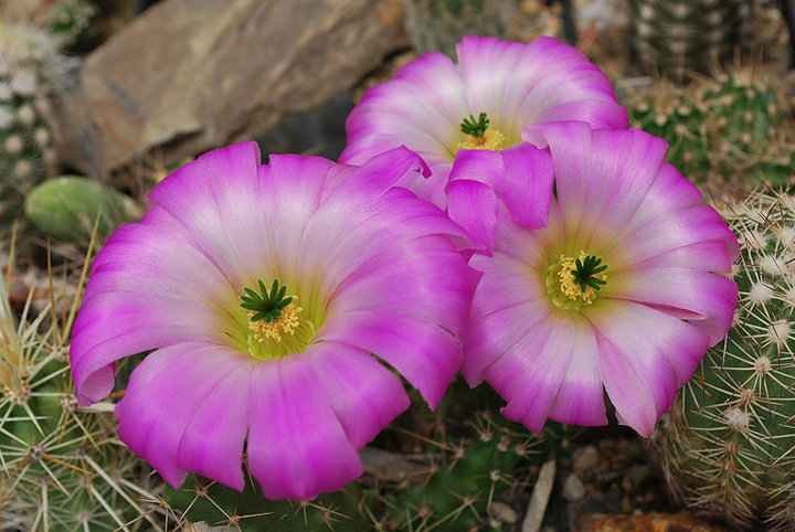 Floraisons de Cactus chez Boun  12610
